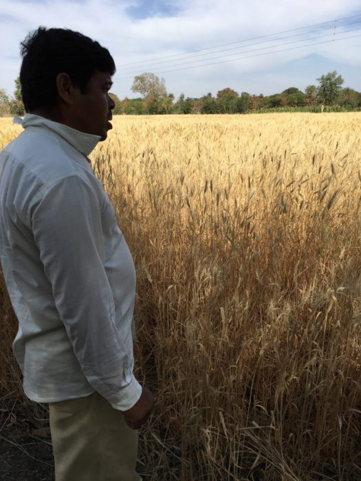 Challenges of Growing Wheat Along the Ganges River