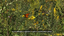 Smithfield Foods Collaboration with Environmental Defense Fund and Roeslein Alternative Energy Helps Bring Monarch Butterflies Back in Large Numbers