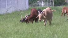 Alliant Energy Hired the Rock River Goats to Weed Out Invasive Species