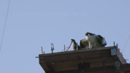 Huntington Beach Ospreys Get a Home Improvement