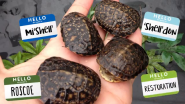Consumers Energy Releases 12 Rare Blanding's Turtles Protected During Natural Gas Pipeline Project
